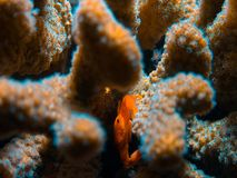 Coral polyps on the reef off the coast of Maldives Royalty Free Stock Photography