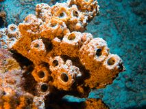 Coral polyps on the reef off the coast of Maldives Royalty Free Stock Photo