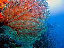 Red Coral polyps on the reef off the coast of Maldives royalty free stock image
