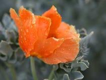 Coral Poppy Stock Photos