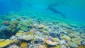 coral próximo acima em recifes Austrália do agincourt com snorkelers Imagens de Stock Royalty Free