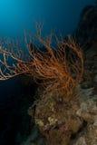 Coral preto de ramificação (dichotoma dos anthipathes) no Mar Vermelho. fotos de stock royalty free