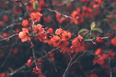 Coral quince flowers royalty free stock photos