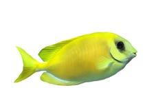 Coral rabbitfish Stock Photography