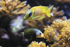 Coral rabbitfish Stock Images