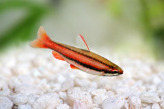 Coral Red Arc Pencilfish Nannostomus mortenthaleri a Stock Photography