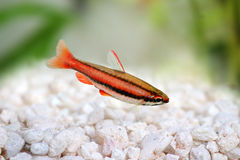 Coral Red Arc Pencilfish Nannostomus mortenthaleri a Stock Photos