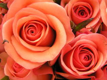 Coral red roses. Photograph of some very beautiful soft and warm coral colored (not very common!) roses Stock Photography