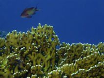Coral in Red Sea Royalty Free Stock Image