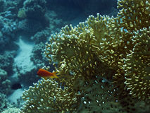 Coral in the Red Sea Stock Images