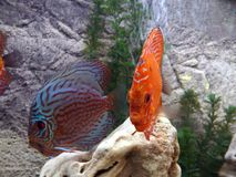 Coral red tropical fish royalty free stock image
