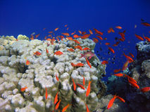 Coral reef. In Red sea Stock Image