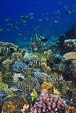 Coral reef. Off the coast of Tulamben, Bali Indonesia Royalty Free Stock Image