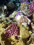 Coral reef. Colorful coral reef at the red sea in Egypt, Africa Royalty Free Stock Photos