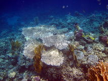 Coral reef. At the Red sea Royalty Free Stock Image
