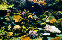 Coral reef. Vibrant underwater aquatic life showing colorful fishes swimming between corals Stock Images