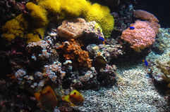 Coral reef. With Copperband Butterfly (Chelmon rostratus), Genoa aquarium, Italy Stock Photography