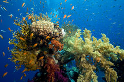 Coral reef. Dive on colorful coral reef stock image
