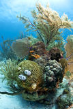Coral reef. Underwater coral reef off the coast of Roatan Honduras Royalty Free Stock Photo