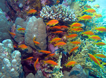 Coral Reef. Red Sea (Egypt Stock Image