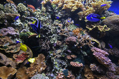 Coral Reef. Underwater scene of Coral Reef with Tropical Fish Royalty Free Stock Image