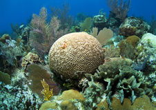 Coral reef. Off the coast of Roatan Honduras Stock Image