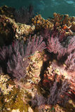 Coral reef. Colorful reef with purple coral in the Gulf of California near La Paz Mexico Stock Images