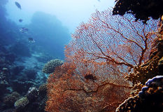Coral reef. A huge red coral and some fish Royalty Free Stock Photo