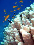 Coral Reef. Jewel Fairy Basslets & Bicolor Pullers, Sharm el Sheikh, Egypt Royalty Free Stock Photography