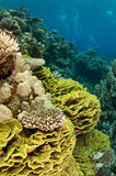 Coral reef. In the Red Sea in clear blue water Royalty Free Stock Photos
