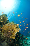 Coral reef. In the Red Sea in clear blue water Stock Photography