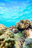 Coral reef. Beautiful colorful coral reef in Pacific ocean Stock Photos