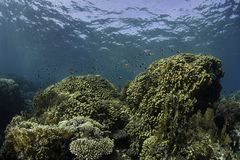 Coral Reef. A stretch of coral reefs is visible in the clear ocean waters with schools of small fish swimming just above the reefs Royalty Free Stock Images
