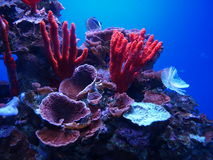 Free Coral Reef Royalty Free Stock Photography - 27829237
