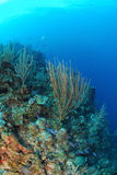 Coral reef. Underwater view of coral reef seen during wall dive, Roatan, Bay Islands, Caribbean Stock Image