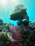Coral reef. Royalty Free Stock Photography