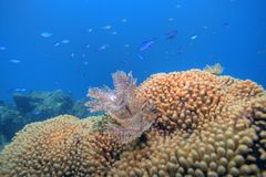 Coral reef. Underwater Coral reef scene on the island of Dominica in the Caribbean Royalty Free Stock Photos