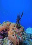 Coral reef. Underwater Coral reef scene on the island of Dominica in the Caribbean Stock Images