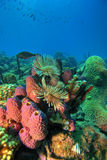Coral reef. Underwater Coral reef scene on the island of Dominica in the Caribbean Stock Photography