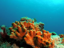 Coral Reef. I took this image right off the Dania beach. The reef was called Barracuda Reef Royalty Free Stock Photo