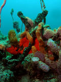 Coral reef. This coral reef image was taken at Barracuda Reef off the coast of Dania Beach, Florida stock image