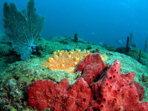 Coral Reef. This red and orange coral was taken in 20 feet of water in Pompano beach, Florida Royalty Free Stock Photos