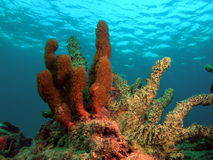 Coral Reef. This coral was taken about 15 feet in South Florida Stock Images