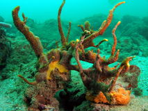 Coral Reef. This coral is a very common in south Florida Stock Photos