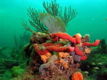 Coral Reef. This image was taken in 45 feet of water off the coast of south Florida Stock Photography