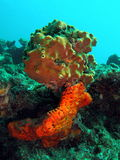 Coral Reef. This coral was taken about 30 feet in Pompano beach, Florida Royalty Free Stock Images
