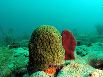 Coral Reef. This is coral taken at about 30 feet in Pompano beach, Florida Royalty Free Stock Photo
