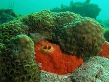 Coral reef. Boring tube sponge taken in south Forida Royalty Free Stock Photo