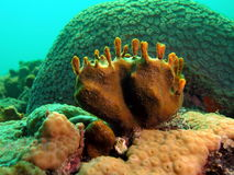 Coral Reef. This fire coral looks like baby feet Royalty Free Stock Photography
