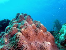 Coral Reef. Coral taken at 30 feet off the south Florida coast Royalty Free Stock Images